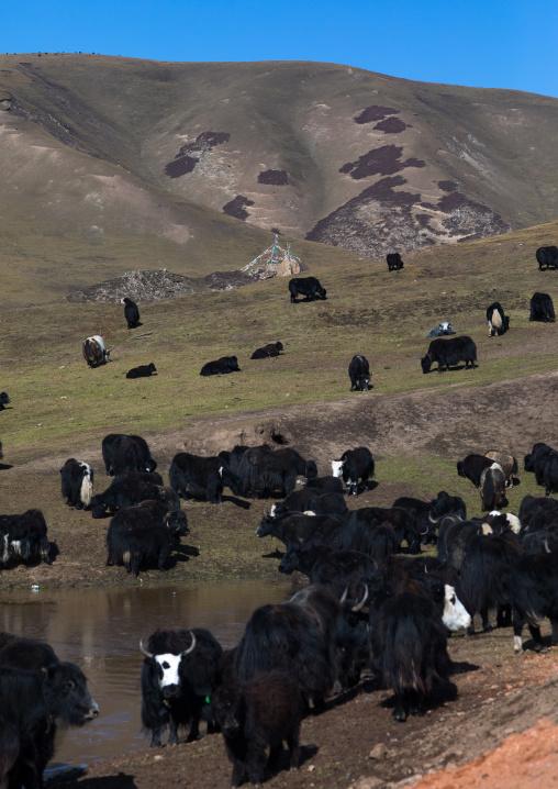 Tibetan nomad herds yaks, Tongren County, Rebkong, China