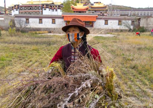 Tibetan woman cleaning a field in Hezuo monastery, Gansu province, Hezuo, China