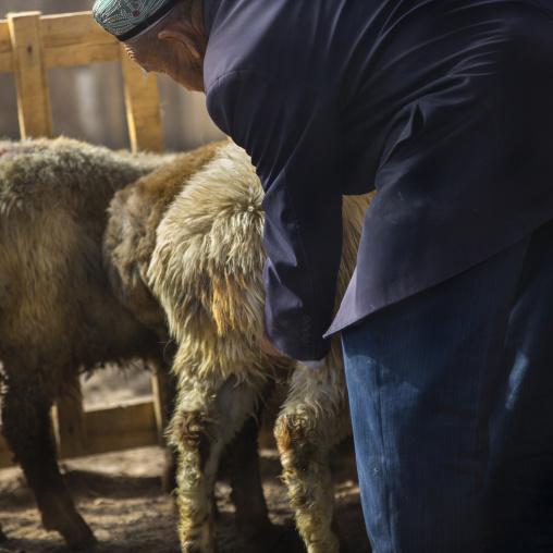 Man Testing A Sheep By Touching Its Genitals, Serik Buya Market, Yarkand, Xinjiang Uyghur Autonomous Region, China