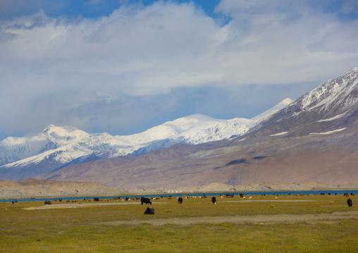Yak Grazing Near Karakul Lake, Xinjiang Uyghur Autonomous Region, China