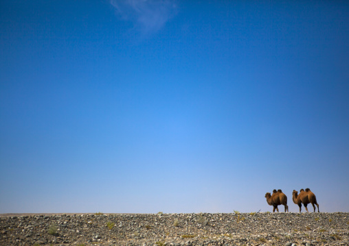 Bactrian Camel, Yecheng, Xinjiang Uyghur Autonomous Region, China