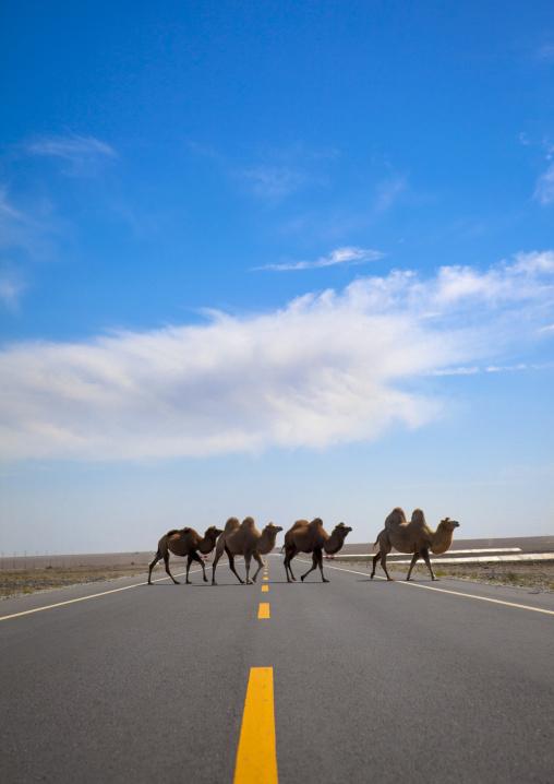Bactrian Camel Crossing A Road, Yecheng, Xinjiang Uyghur Autonomous Region, China
