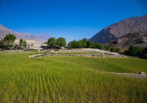 Wheat field on the tajikistan afghanistan border, Badakhshan province, Ishkashim, Afghanistan