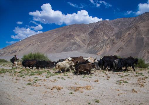 Sheperd with his yaks, Badakhshan province, Qazi deh, Afghanistan