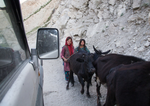 Afghan sheperds passing with their cows on a narrow mountain road, Badakhshan province, Wuzed, Afghanistan