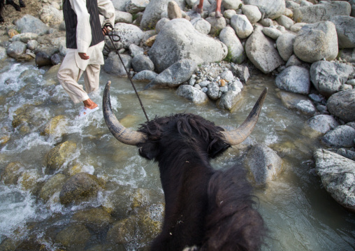 Yak crossing a river during a treck in the mountain, Big pamir, Wakhan, Afghanistan
