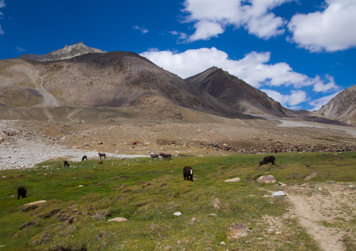 Yaks in the mountains, Big pamir, Wakhan, Afghanistan