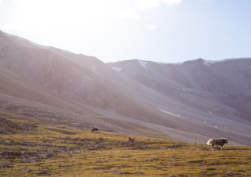 Yaks in the pamir mountains, Big pamir, Wakhan, Afghanistan