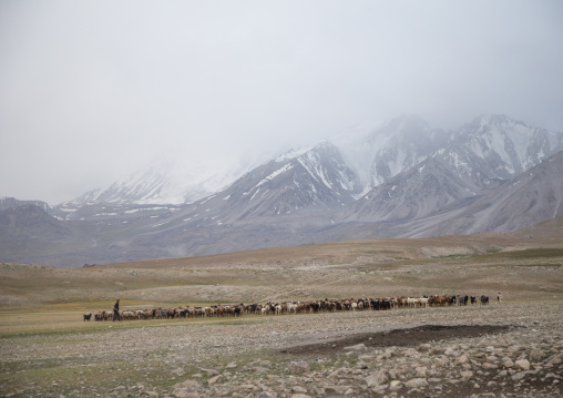 Wakhi sheperd looking for grass for his sheeps and goats, Big pamir, Wakhan, Afghanistan