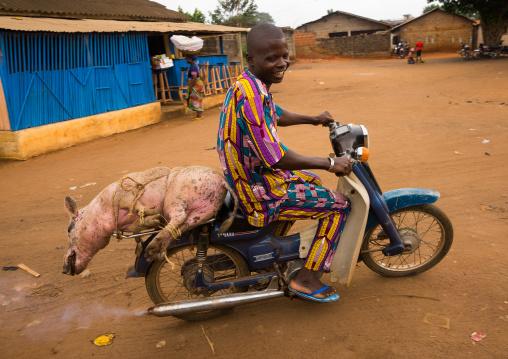Benin, West Africa, Adjara, man transporting a live pig that is tied to his motor bike