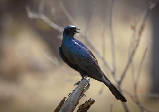 A Dark Blue Bird In Moremi Wildlife Reserve, Botswana