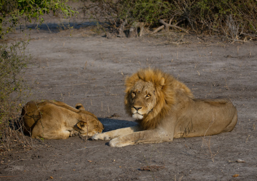Lions Resting, Chobe National Park, Botswana
