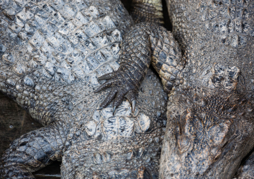 High angle view of crocodiles, Siem Reap Province, Chong Kneas, Cambodia