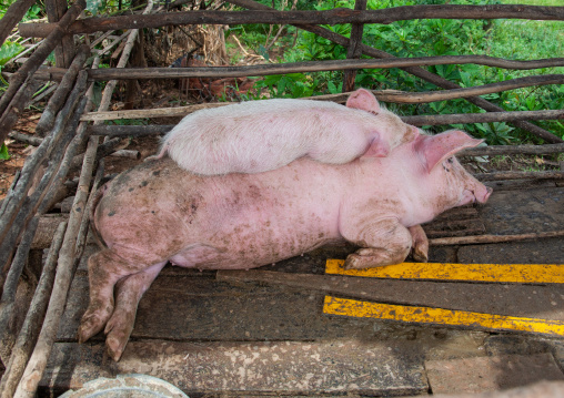 Snuggling pigs in a farm, Siem Reap Province, Chong Kneas, Cambodia