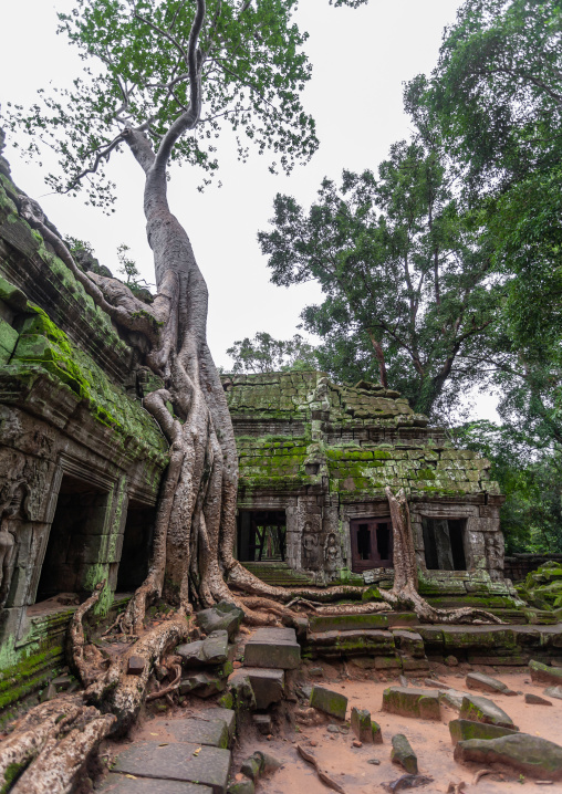 Ta Prohm temple overgrown with tree roots, Siem Reap Province, Angkor, Cambodia
