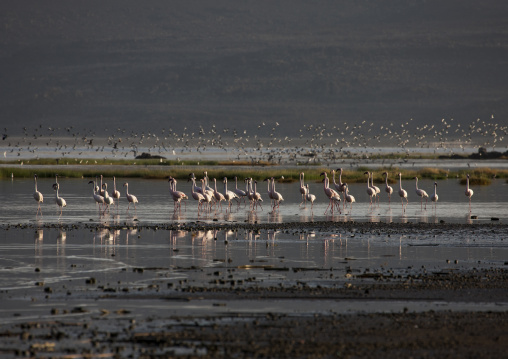 Flamingos, Lake Abbe, Djibouti