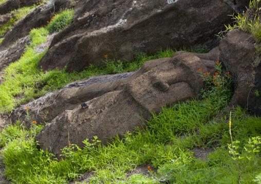Unfinished Moais In Rano Raraku, Easter Island, Chile