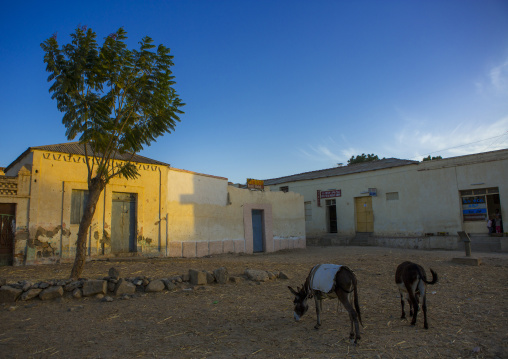 Donkeys On A Square, Anseba, Keren, Eritrea