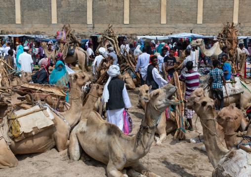 Camels bringing wood for sale in the monday market, Semien-Keih-Bahri, Keren, Eritrea