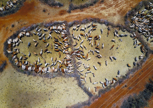 Aerial view of cows suffering from the drought grouped in fences to be fed by the governement, Oromia, Yabelo, Ethiopia