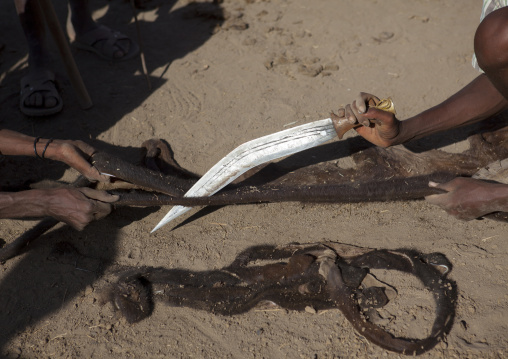 Close Up On The Cutting Of The Skin Of A Slaughtered Cow By Karrayyu Tribe Men To Make Ropes During Gadaaa Ceremony, Metahara, Ethiopia
