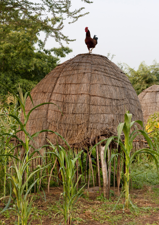 Rooster On Top Of Bodi Tribe Village Thatch Hut Omo Valley Ethiopia