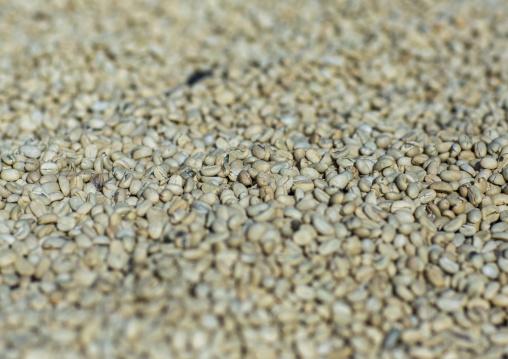 White Coffee Beans Drying In The Sun In A Fair Trade Coffee Farm