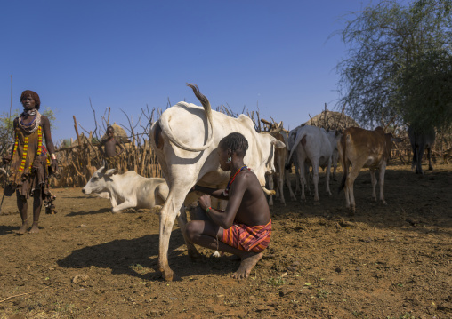 Boy Of The Hamer Tribe Milking A Cow, Turmi, Omo Valley, Ethiopia