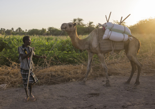 Afar Tribe Man With His Camels, Afambo, Ethiopia