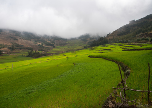 Green rice terraces, Amhara region, Lalibela, Ethiopia