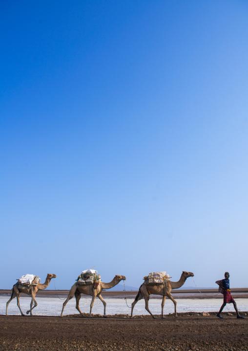 Afar tribe man camel caravans carrying salt blocks in the danakil depression, Afar region, Dallol, Ethiopia
