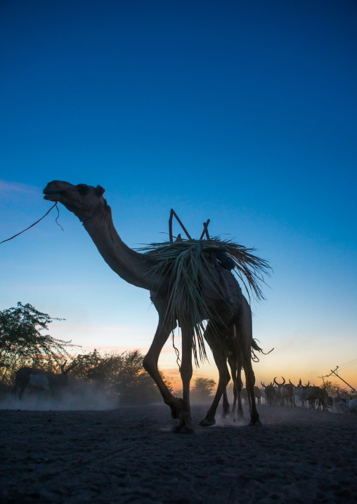 Camel caravan in danakil desert at sunset, Afar region, Afambo, Ethiopia