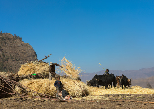 Ethiopian farmers threshing grain with bullocks, Amhara region, Lalibela, Ethiopia