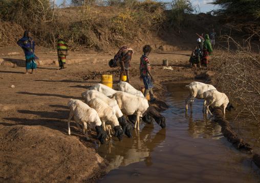 Borana women and their sheeps drinking water, Oromia, Yabelo, Ethiopia