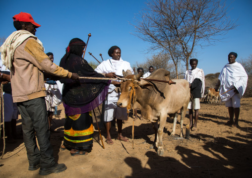 Kura Jarso blessing a bull before the slaughter during the Gada system ceremony in Borana tribe, Oromia, Yabelo, Ethiopia
