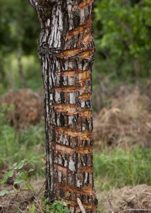Trunk of a tree used as a calendar for donga stick fighting sessions, Tulgit, Omo valley, Ethiopia