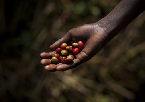 Coffee cherries, Bebeka coffee plantation, Ethiopia