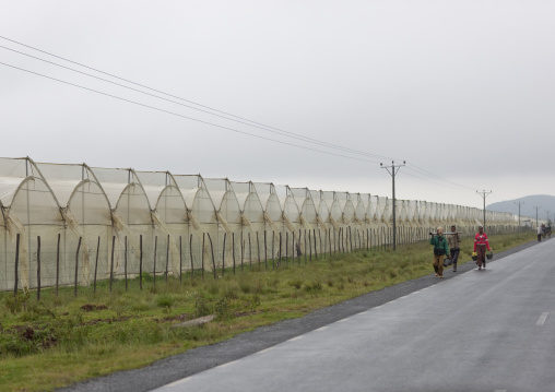 Greenhouses in a rose plantation, Ethiopia
