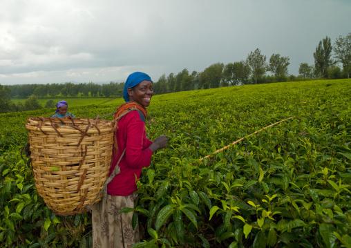 Woman picking up tea in wushi wushi plantation, Ethiopia