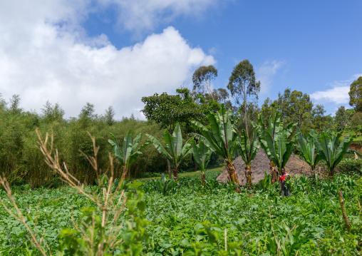 Farmer in his ensets field, Gamo Gofa Zone, Ganta, Ethiopia