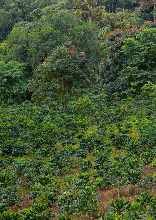 Coffee plantation, Bench Maji, Mizan Teferi, Ethiopia