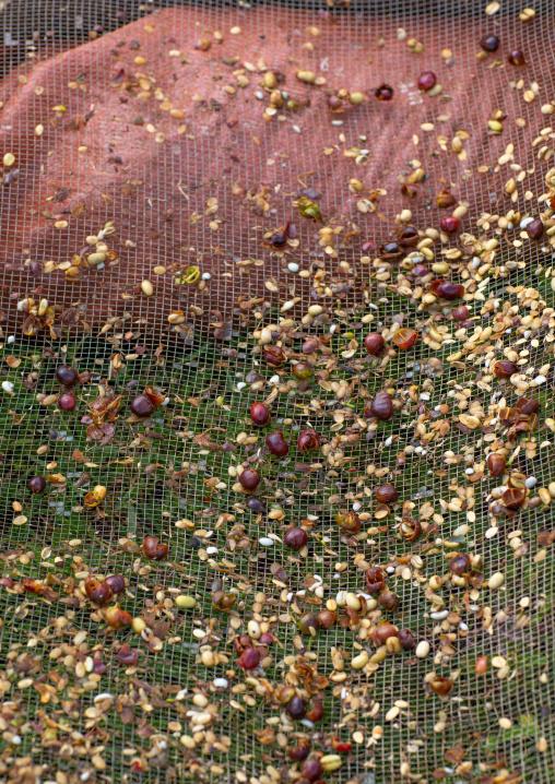 Fresh coffee beans on a sieve, Oromia, Shishinda, Ethiopia
