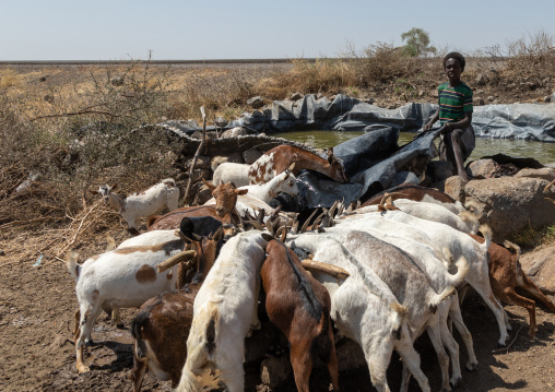 Somali boy giving water to its goats, Afar Region, Gewane, Ethiopia