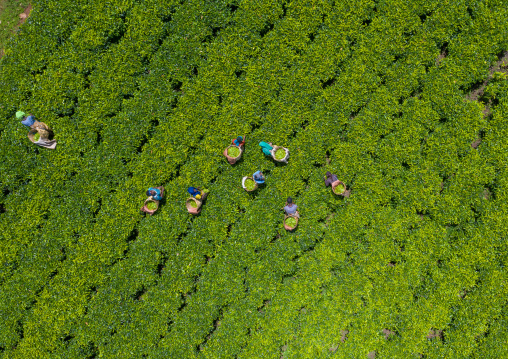 Aerial view of ethiopian people working at green tea plantation, Keffa, Bonga, Ethiopia