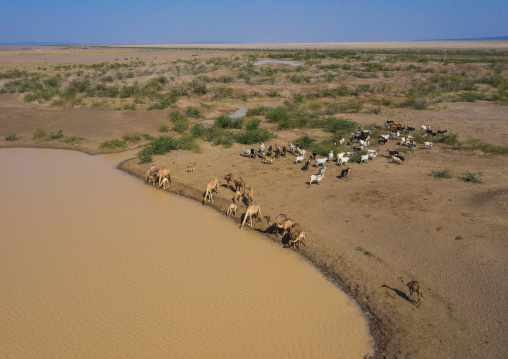 Aerial view of cows and camels drinking water in a lake, Afar region, Semera, Ethiopia