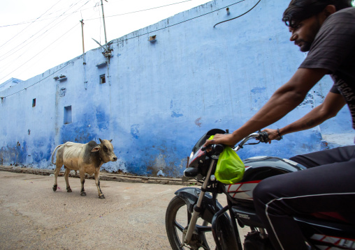 Indian cow in the street in front of a blue wall and a man on motorbike, Rajasthan, Bundi, India