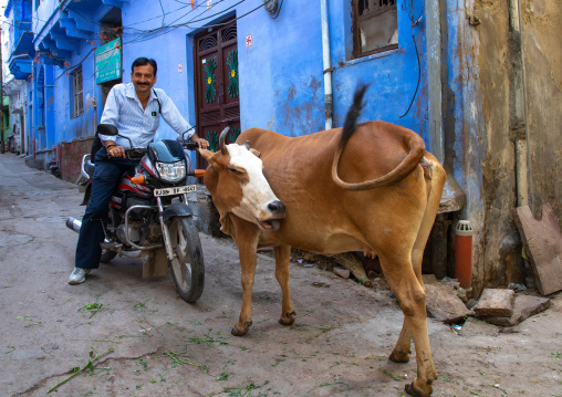 Indian man on a motorbike passing by a cow in a street, Rajasthan, Bundi, India