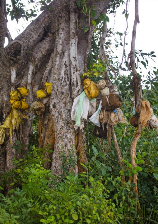 Tree Hung With Cow Placenta To Encourage Bovine Fertility And Milk Production, Kanadukathan Chettinad, India