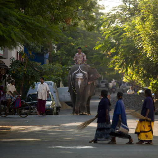 Elephant Wearing Traditional Painting On Its Forehead Crossing A Street Wiht Man On Its Back, Pondicherry, India