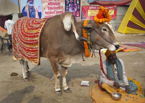 Sacred Cow With Five Legs, Maha Kumbh Mela, Allahabad, India
